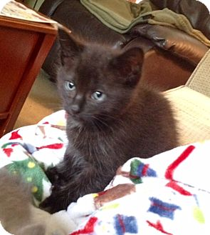 Domestic Longhair Kitten for adoption in Southington, Connecticut - Milo and Murphy