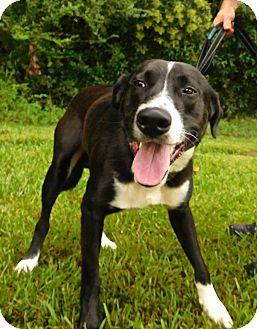 Border Collie/Labrador Retriever Mix Dog for adoption in St. Francisville, Louisiana - Max