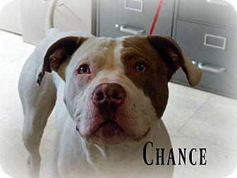 Pit Bull Terrier/American Bulldog Mix Dog for adoption in Defiance, Ohio - Chance