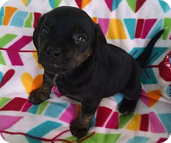 Boxer/Labrador Retriever Mix Puppy for adoption in Gallatin, Tennessee - Lisa
