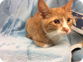 Domestic Shorthair Kitten for adoption in Janesville, Wisconsin - Weenie