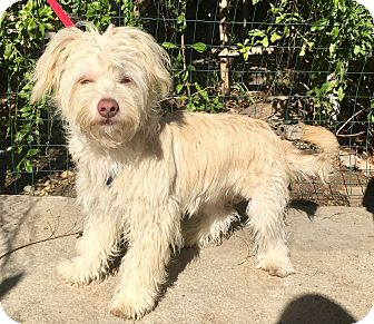 Maltese/Löwchen Mix Dog for adoption in Santa Ana, California - Louie