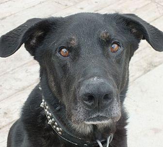 Rottweiler/Shepherd (Unknown Type) Mix Dog for adoption in Minneapolis, Minnesota - Bosco