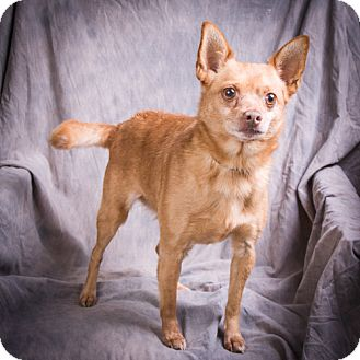 Chihuahua Mix Dog for adoption in Anna, Illinois - LITTLE MAN
