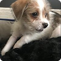 Adopt A Pet :: Luke Cage - Las Vegas, NV
