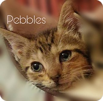 Abyssinian Kitten for adoption in New Smyrna Beach, Florida - Pebbles