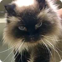 Adopt A Pet :: Laila DECLAWED - Mobile, AL