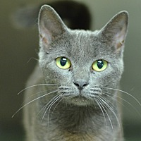 Domestic Shorthair Cat for adoption in Brooksville, Florida - 10312068