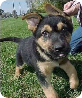 German Shepherd Dog Puppy for adoption in North Judson, Indiana - Schultzy