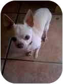 Chihuahua Dog for adoption in Cocoa, Florida - Big Man