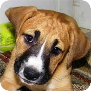 Boxer Mix Dog for adoption in North Haven, Connecticut - Faith