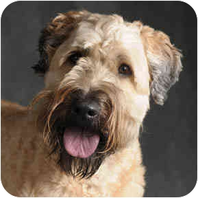 Wheaten Terrier Dog for adoption in Chicago, Illinois - Buddha