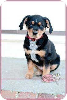 Bluetick Coonhound/Rottweiler Mix Puppy for adoption in Haverhill, Massachusetts - GABE