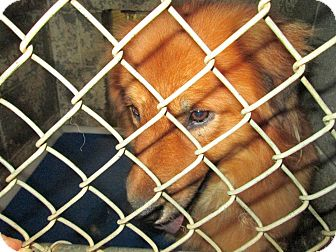 Chow Chow Mix Dog for adoption in Henderson, North Carolina - Two Paws