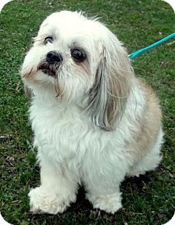 Shih Tzu/Lhasa Apso Mix Dog for adoption in Berea, Ohio - Pooh
