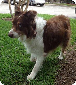Australian Shepherd Mix Dog for adoption in Abilene, Texas - Addie