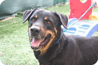 Rottweiler Dog for adoption in Seffner, Florida - Apollo