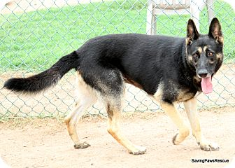 German Shepherd Dog Dog for adoption in Phoenix, Arizona - Grouse