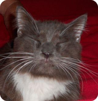 Domestic Longhair Cat for adoption in Jacksonville, North Carolina - Bosley