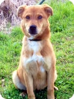 Blue Heeler/Shepherd (Unknown Type) Mix Dog for adoption in Leland, Mississippi - BARNEY