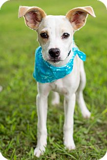 Jack Russell Terrier Mix Puppy for adoption in Portsmouth, Rhode Island - Opie-w/video!