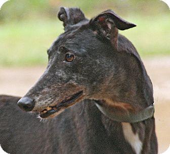 Greyhound Dog for adoption in Portland, Oregon - Bronze