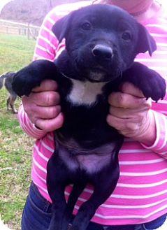 Labrador Retriever Mix Puppy for adoption in Danbury, Connecticut - Crockett