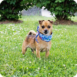Chihuahua Mix Dog for adoption in Naperville, Illinois - Preston