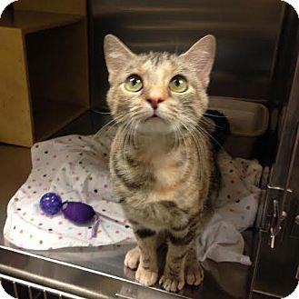 Domestic Shorthair Cat for adoption in Cincinnati, Ohio - Farrah