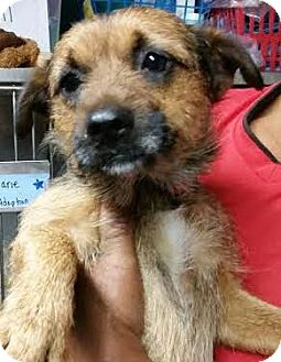 Terrier (Unknown Type, Small) Mix Dog for adoption in Bronx, New York - Buster