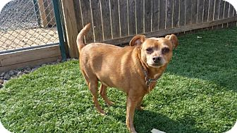 Chihuahua Mix Dog for adoption in Breinigsville, Pennsylvania - Boo