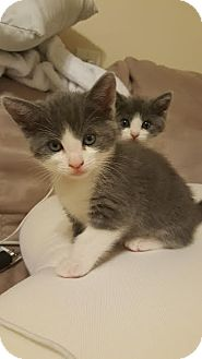 Domestic Shorthair Kitten for adoption in Los Angeles, California - Boomer