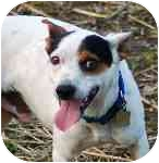 Rat Terrier Dog for adoption in Antioch, Tennessee - Remington Steele