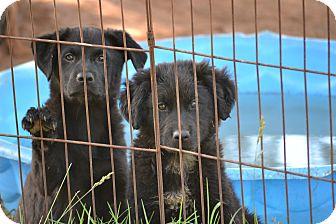 Golden Retriever/Labrador Retriever Mix Puppy for adoption in Wilminton, Delaware - Harlequin