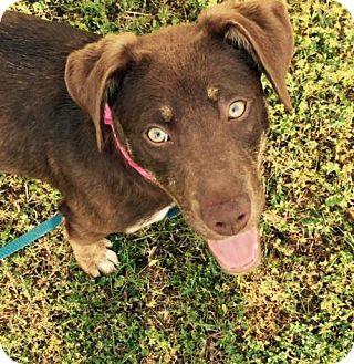 Australian Shepherd/Catahoula Leopard Dog Mix Puppy for adoption in Alpharetta, Georgia - Rosalee