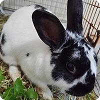 Adopt A Pet :: Chuck - Conshohocken, PA