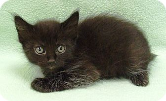 Domestic Shorthair Kitten for adoption in Watauga, Texas - Oliver