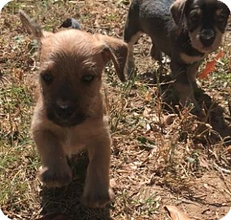 Poodle (Toy or Tea Cup)/Yorkie, Yorkshire Terrier Mix Puppy for adoption in Sylacauga, Alabama - Bubba