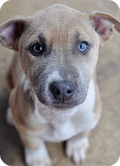 Pit Bull Terrier/American Staffordshire Terrier Mix Puppy for adoption in College Station, Texas - Taylor