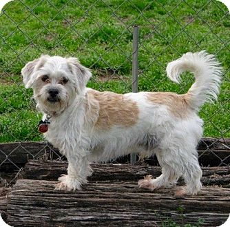 Shih Tzu/Bichon Frise Mix Dog for adoption in Westwood, New Jersey - Dave