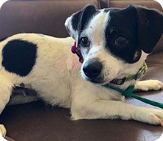 Rat Terrier Mix Dog for adoption in Las Vegas, Nevada - Foxy