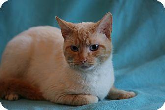 Siamese Cat for adoption in Allentown, Pennsylvania - Frankie Blue Eyes