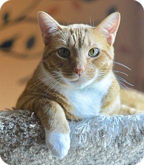 Domestic Shorthair Cat for adoption in Royal Oak, Michigan - TIGGER