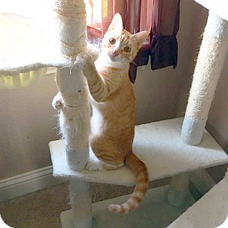 Domestic Shorthair Cat for adoption in Arlington/Ft Worth, Texas - O.J.