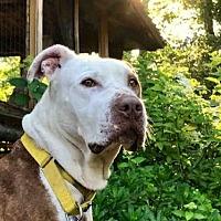 Adopt A Pet :: ANGEL - Pittsburgh, PA