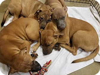 Shar Pei/Shepherd (Unknown Type) Mix Puppy for adoption in Melrose, Florida - Brown mix pups