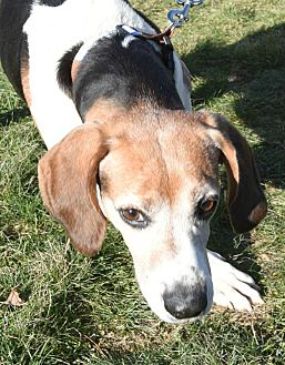 Treeing Walker Coonhound/Hound (Unknown Type) Mix Dog for adoption in Lexington, Massachusetts - Snickers