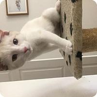 Adopt A Pet :: Lindsey - Las Vegas, NV