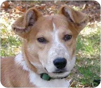 Dachshund/Corgi Mix Dog for adoption in Mocksville, North Carolina - Tater