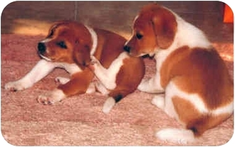 Beagle/Terrier (Unknown Type, Medium) Mix Puppy for adoption in Tahlequah, Oklahoma - Bubba & J.J.